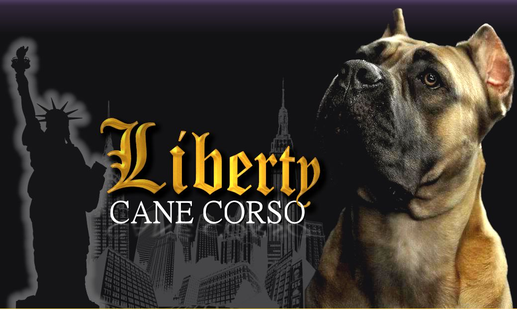 Liberty Cane Corso - Cane Corso Breeder New York